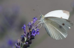 The cabbage white butterfly collecting nectar