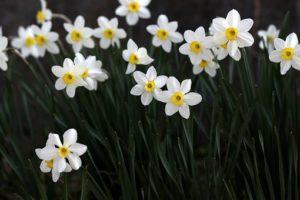 White Daffodils-daffodil-flowers
