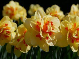 Daffodil Flower Care-daffodil-tahiti