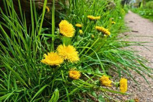 Dandelions-how-grow-dandelions