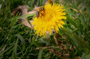 Dandelion-bee-collection nectar