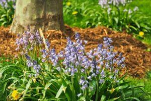 Bluebell flowering plants