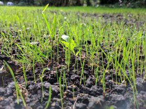 How To Start A Lawn From Seed-grass-seeds-germination