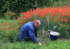 Gardening For Senior Citizens-weeding-poppies-bed