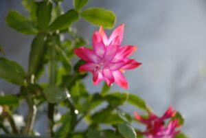 Christmas Cactus Plant-christmas-cactus-plant