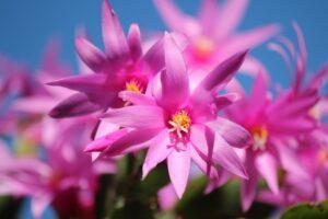Christmas Cactus Plant-christmas-cactus-flowers