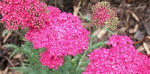 Yarrow Plant Care-yarrow-plant