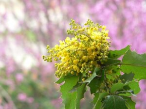 Oregon Grape Care-oregon-grape-flower