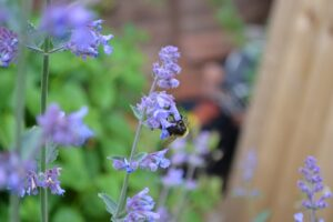 Catmint Plant Care-flowers-of-catmint-plant