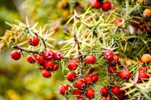 Juniper Plant Care-juniper-thron